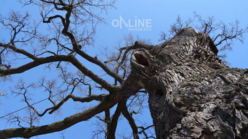 Najstarší strom na Slovensku sa nachádza v Dubinnom.