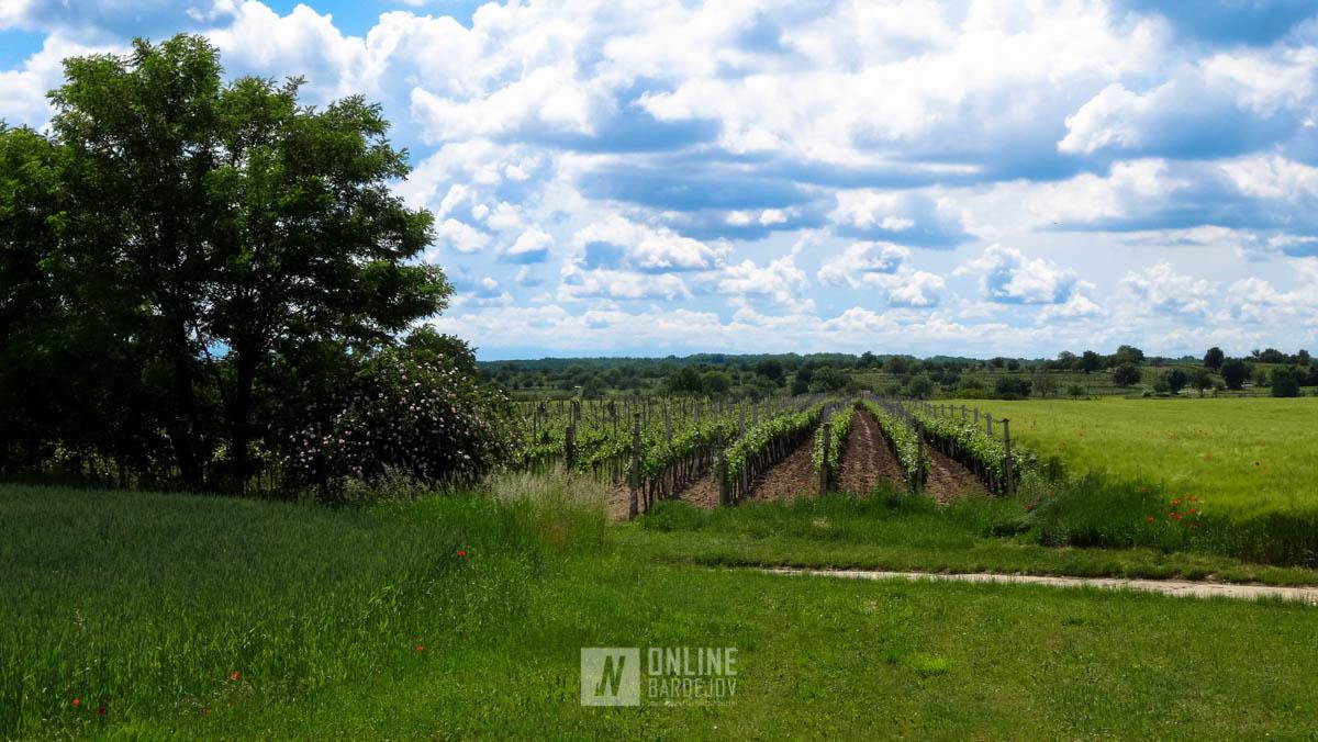 V tesnej blízkosti ťažobného priestoru sa pestuje vinič.